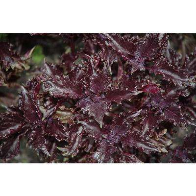 4.25 in. Grande Proven Selections Purple Ruffles Basil, Live Plant, Herb (Pack of 4)