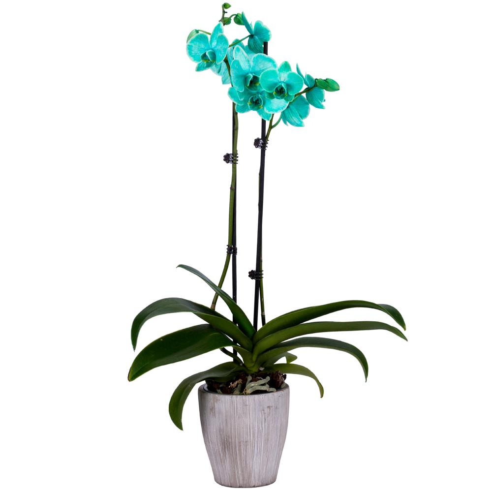DecoBlooms 5 in. Orchid Green in Bare Roots
