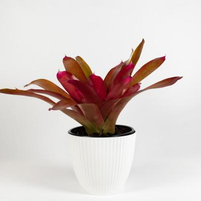 Red Parfait Bromeliad (Neoregelia) Live Plant in 8 in. Decorator White Contemporary Pot with Built in Saucer
