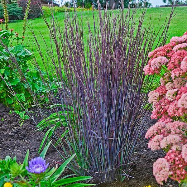 Spring Hill Nurseries Smoke Signal Grass Schizachyrium Live Deciduous 3 In Plant With Blue Green To Crimson Foliage Perennial 1 Pack 61452 The Home Depot