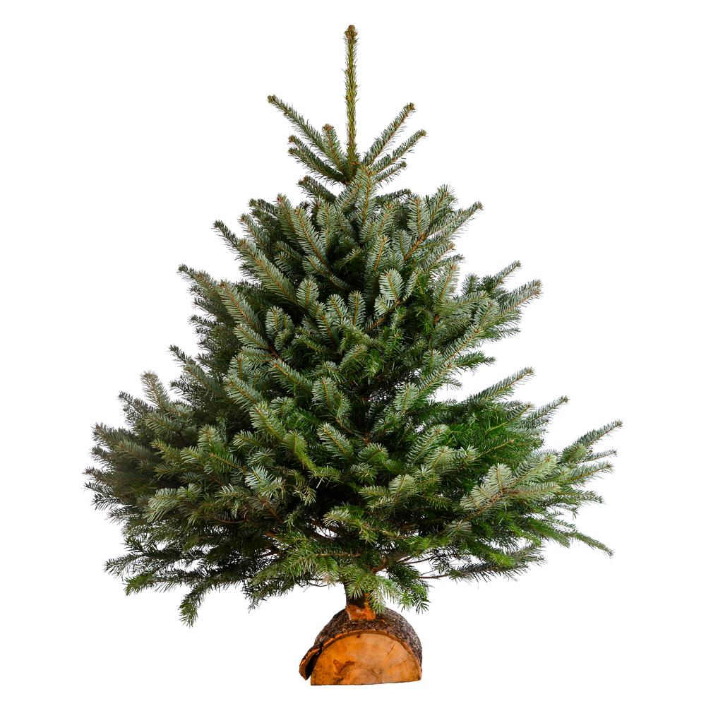 Online Orchards 3 ft. to 4 ft. Freshly Cut Turkish Fir Live Christmas Tree (Real, Natural, Oregon-Grown)