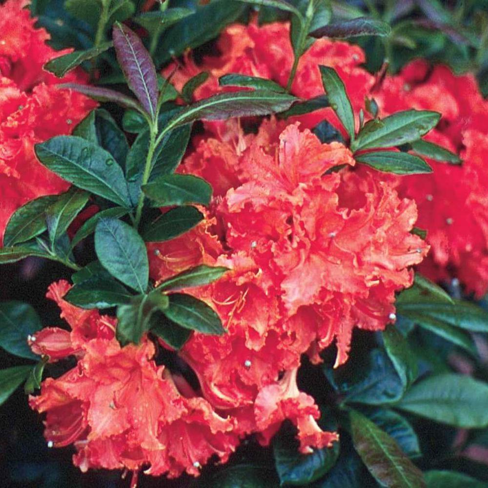 Spring Hill Nurseries 2 In Pot Fireball Azalea Rhododendron
