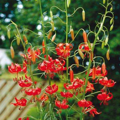 Lilium Tenuifolium Bulbs (5-Pack)
