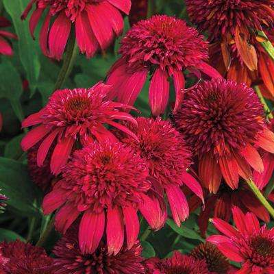 Double Scoop Cranberry Coneflower Potted Plant