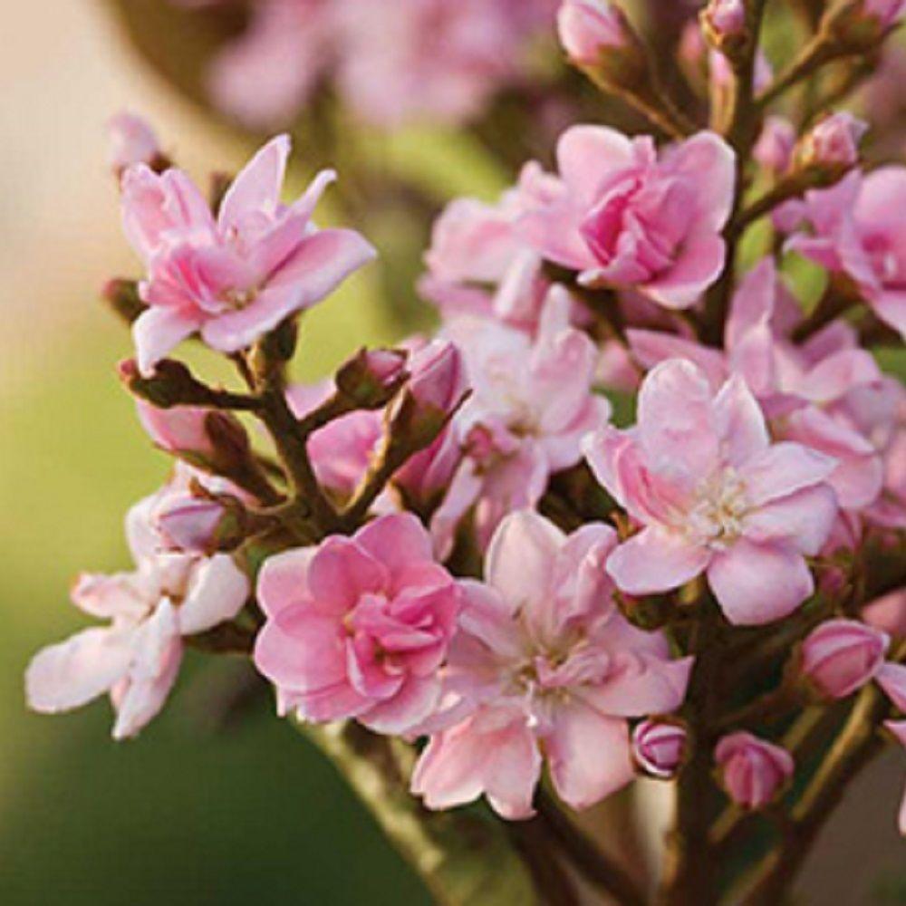 7 Gal. Raphiolepis Rosalinda, Live Evergreen Shrub, Pink Blooms
