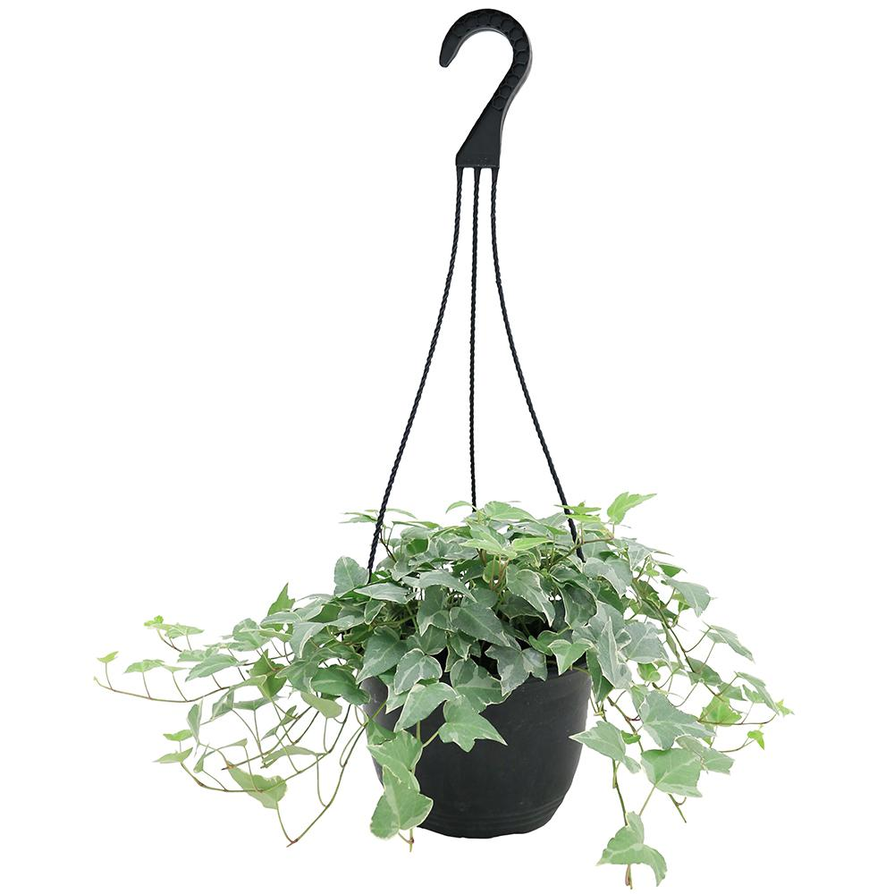 Delray Plants Hedera Ivy in 8 in. Hanging Basket