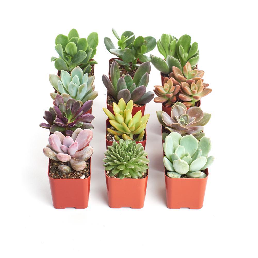 2 in. Unique Succulent (Collection of 12)