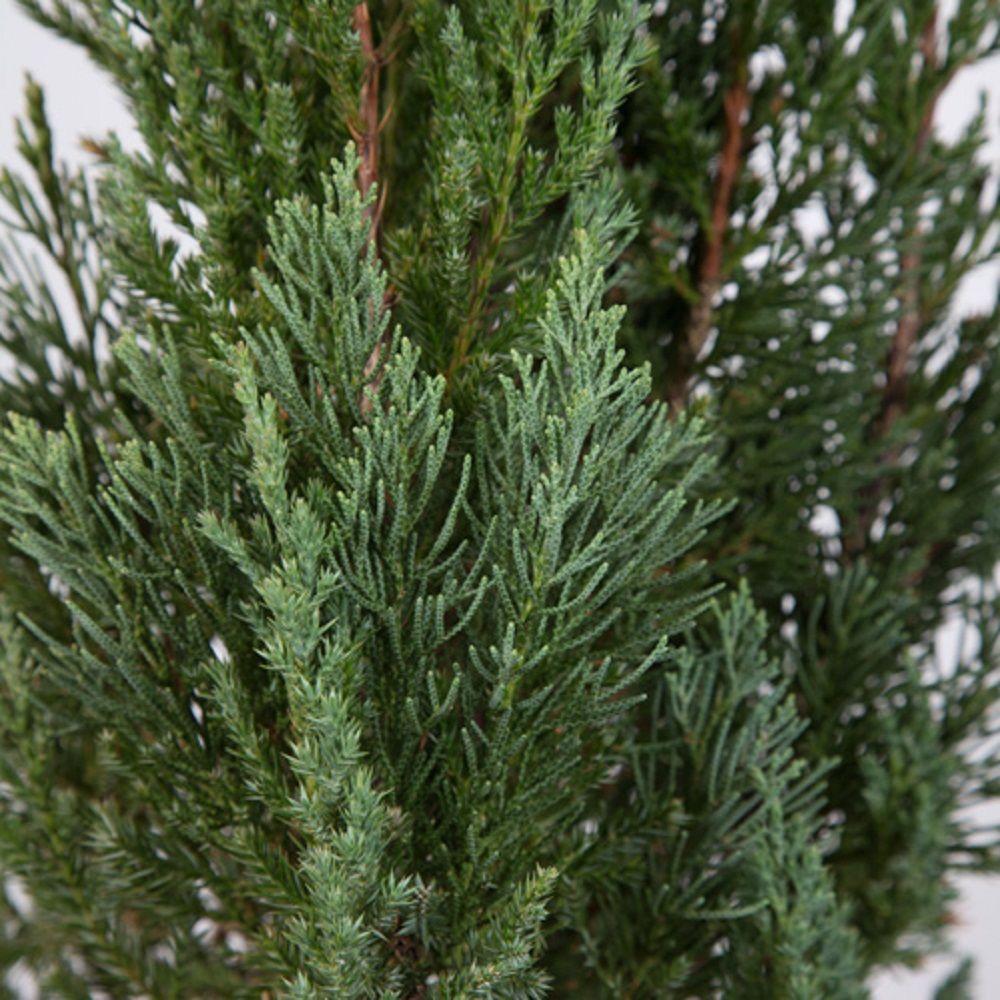 7 Gal Blue Point Juniper Live Evergreen Shrub Tree
