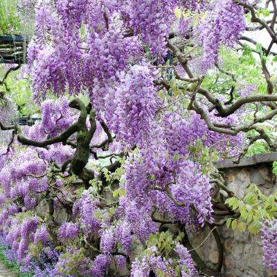 Perennial flowering vine garden plants flowers garden center wisteria purple root stock 1 set mightylinksfo