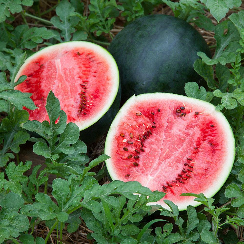 Bonnie Plants 4.5 in. 19.3 oz. Watermelon-Sugar Baby