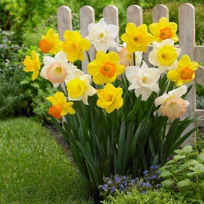 Narcissus Mix Trumpets Bulbs (100-Pack)