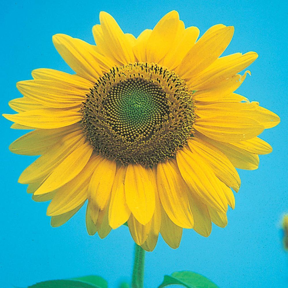 Sunflower Mammoth Gray Stripe (1 oz. Seed Packet)