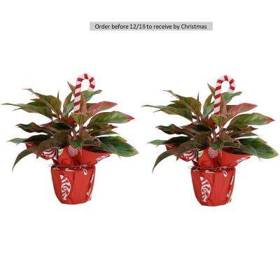 Fresh Holiday Siam Aglaonema in 6 in. Grower Pot with Christmas Wrap and Pick (2-Pack)