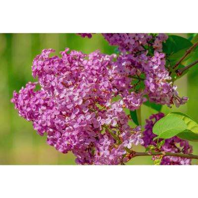 Bare Root, 18 in. to 36 in. T Royal Purple Lilac Shrub