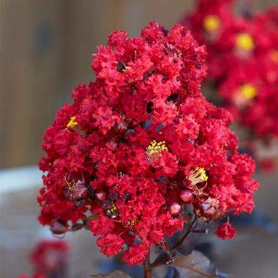 Black Diamond Red Hot Crape Myrtle Dormant Packaged Tree