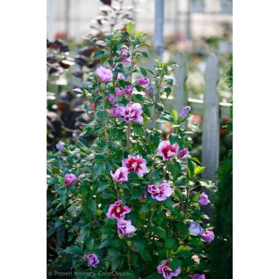 1 Gal. Purple Pillar Rose of Sharon (Hibiscus) Live Shrub, Purple Flowers