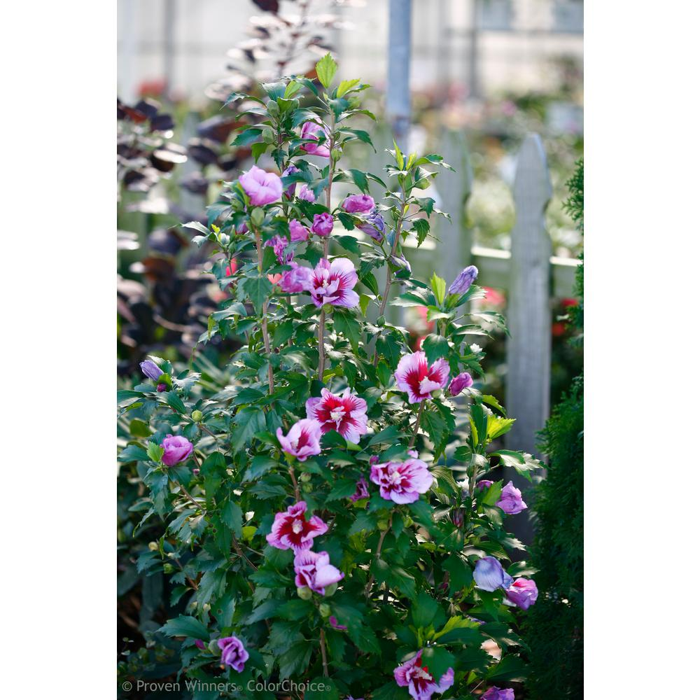 Proven Winners 3 Gal Purple Pillar Rose Of Sharon Hibiscus Live