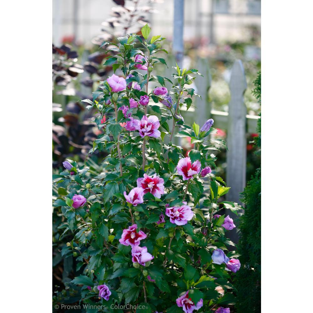 3 Gal. Purple Pillar Rose of Sharon (Hibiscus) Live Shrub, Purple Flowers