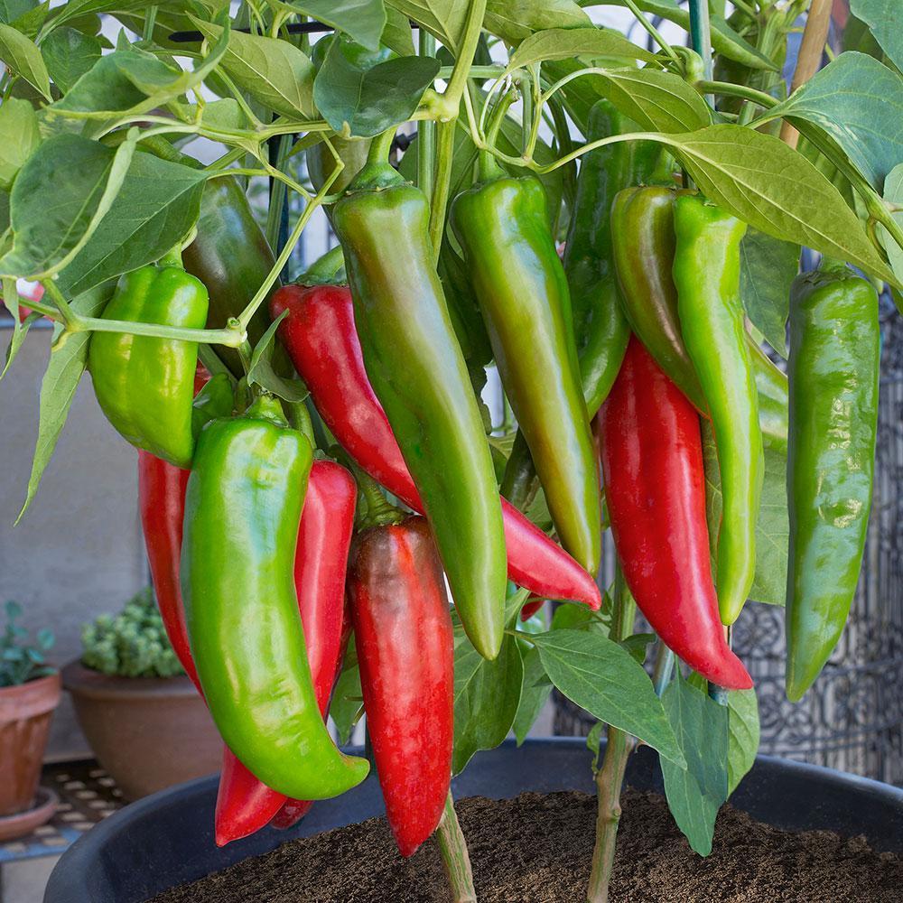 Bonnie Plants 4.5 in. 19.3 oz. Pepper-Anaheim-2701 - The ...