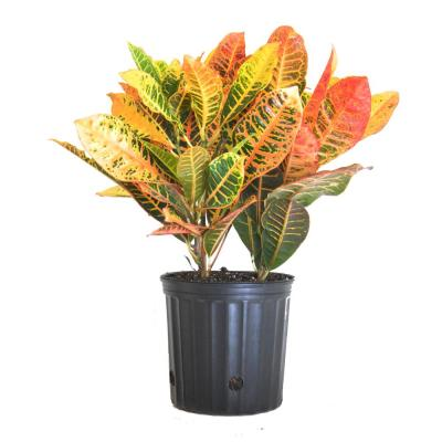 Croton Petra Codiaeum Variegatum Live Outdoor Indoor House Plant Ships in 9.25 in. Pot at 26 in. to 30 in. Tall