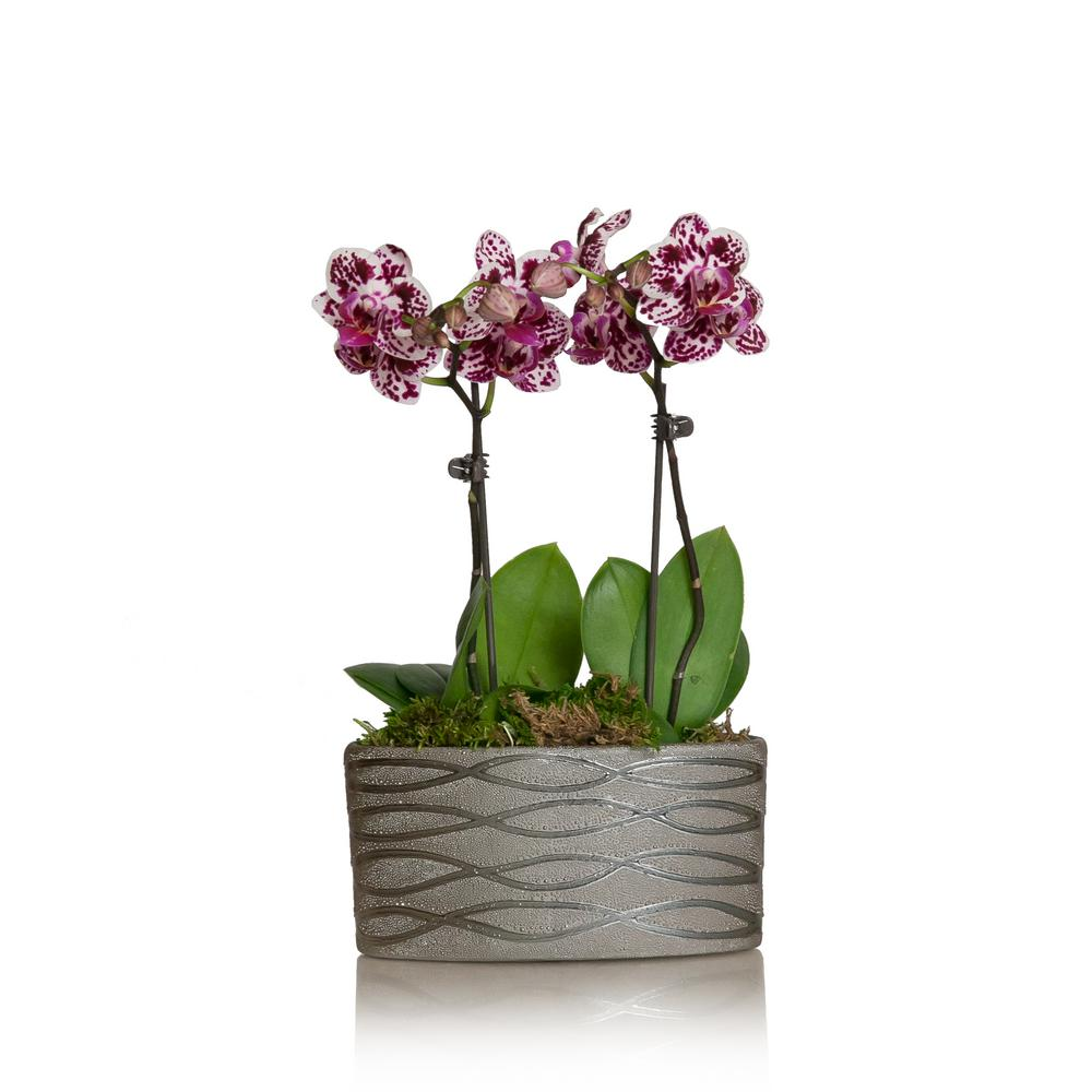White with Purple Spots 4 in. Holiday Mini Orchid Duo Plant