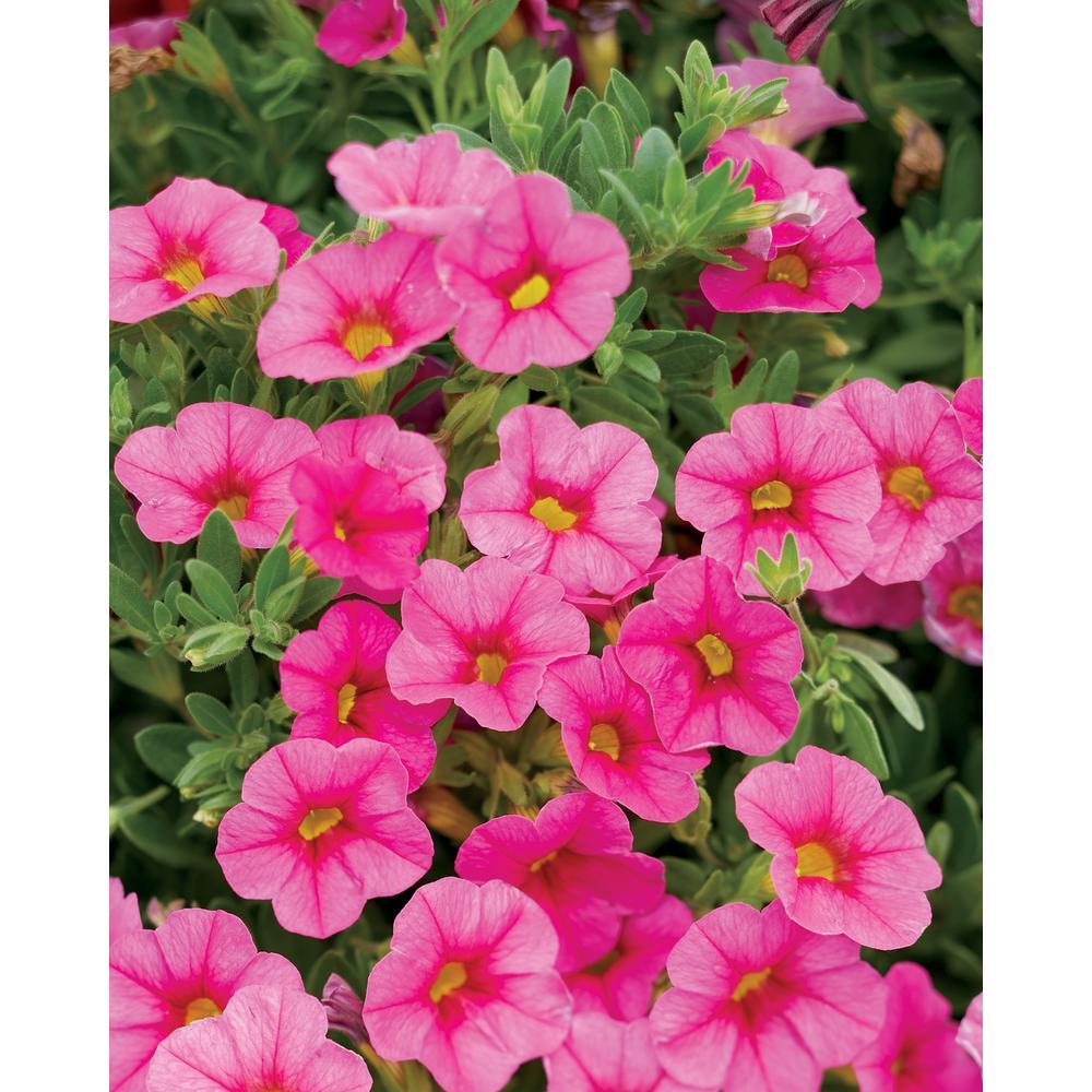 Superbells Pink (Calibrachoa) Live Plant, Pink Flowers, 4.25 in. Grande, 4-pack