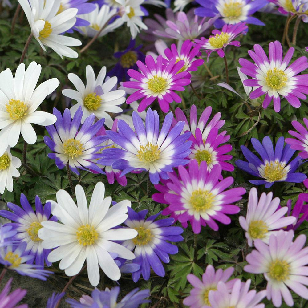 Wind Flowers Bulbs Anemone Blanda Mixed Set Of 50