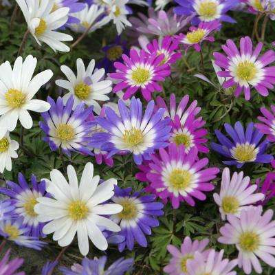 Wind Flowers Bulbs Anemone Blanda Mixed (Set of 50)