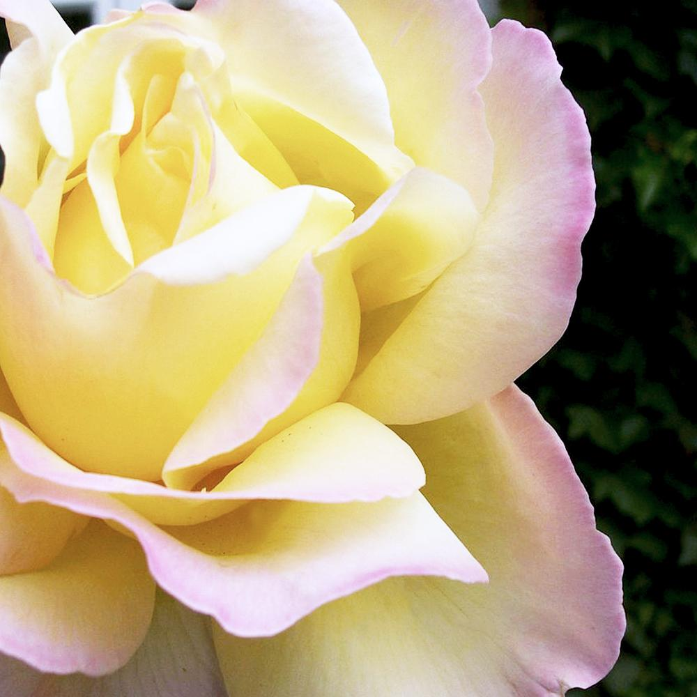 Mea Nursery All-Time Favorites Peace Hybrid Tea Rose with Pale Yellow to Pink Flowers was $25.98 now $10.49 (60.0% off)