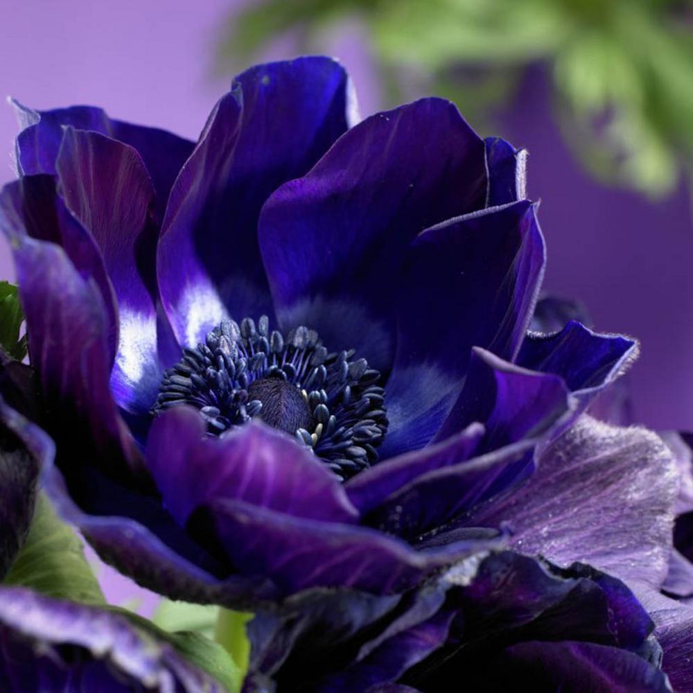 Wind Flowers Anemones Darkest Blue Bulbs (Set of 25)