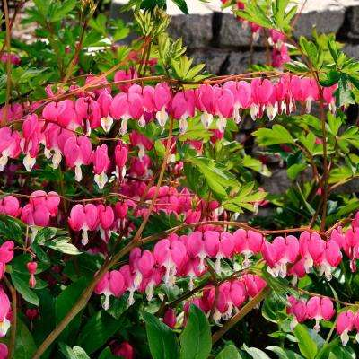 Old Fashioned Bleeding Heart Dicentra Live Bareroot Plant Pink Flowering Perennial 1