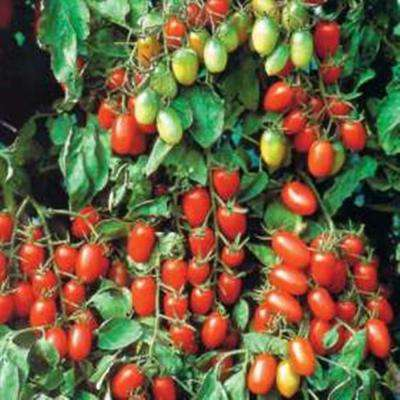 4.25 in. Grande Proven Selections Juliet Grape Tomato, Live Plant, Vegetable (Pack of 4)