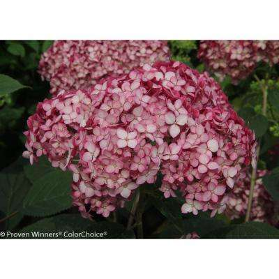 3 Gal. Invincibelle Ruby Smooth Hydrangea, Live Shrub, Red and Pink Flowers