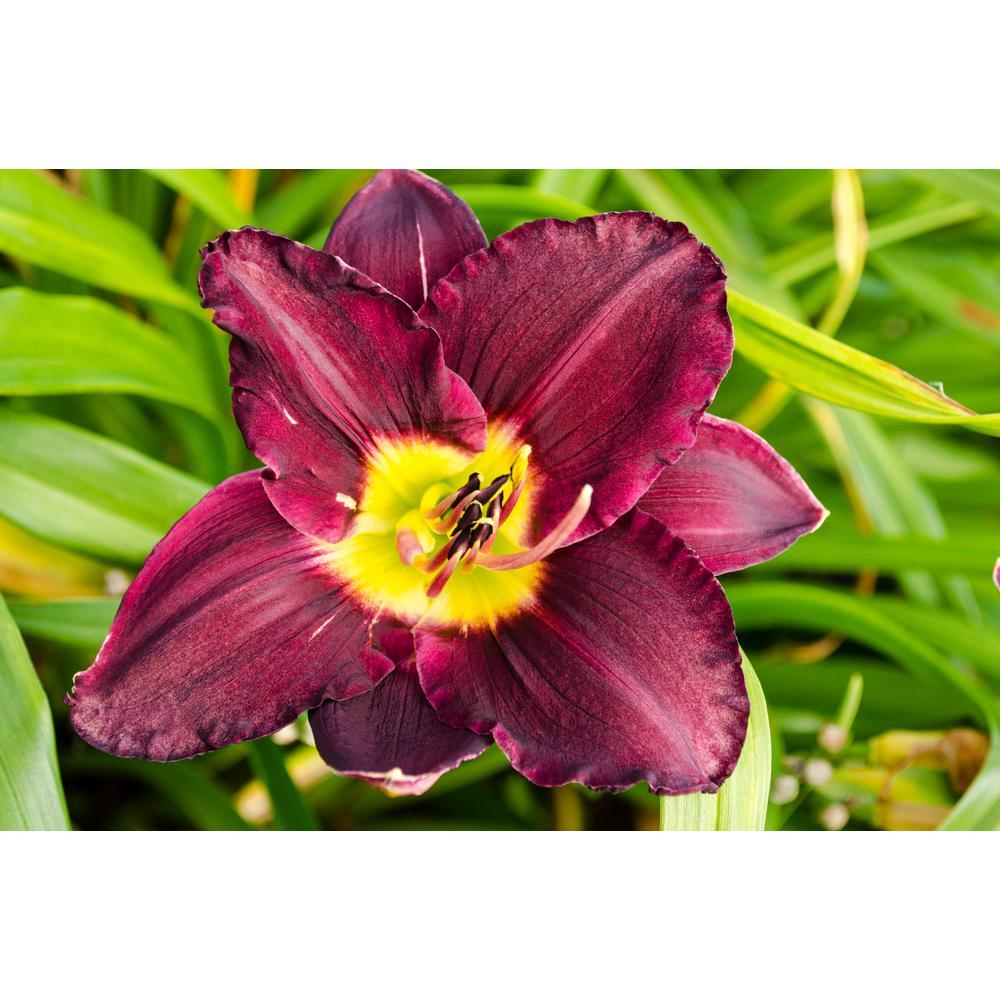 Bela Lugosi Daylily (Hemerocallis) Purple and Yellow Flowering Perennial Live Bareroot Plant