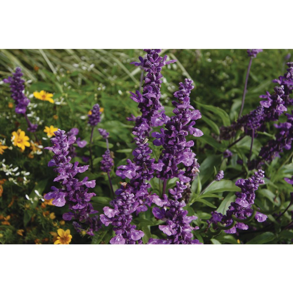 Evolution Mealycup Sage (Salvia) Live Plant, Purple Flowers, 4.25 In. Grande