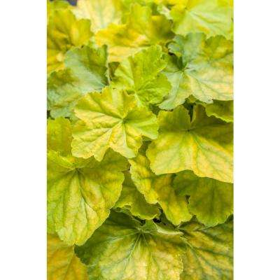 Primo Pretty Pistachio Coral Bells (Heuchera) Live Plant, Green Foliage and Pink Flowers, 0.65 Gal.