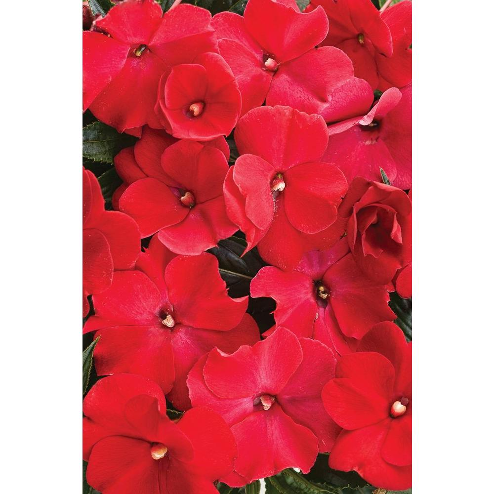 Proven Winners Ruffles Red New Guinea Impatiens Live Plant Red