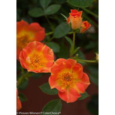 4.5 in. qt. Oso Easy Paprika Rose (Rosa) Live Shrub, Orange Flowers