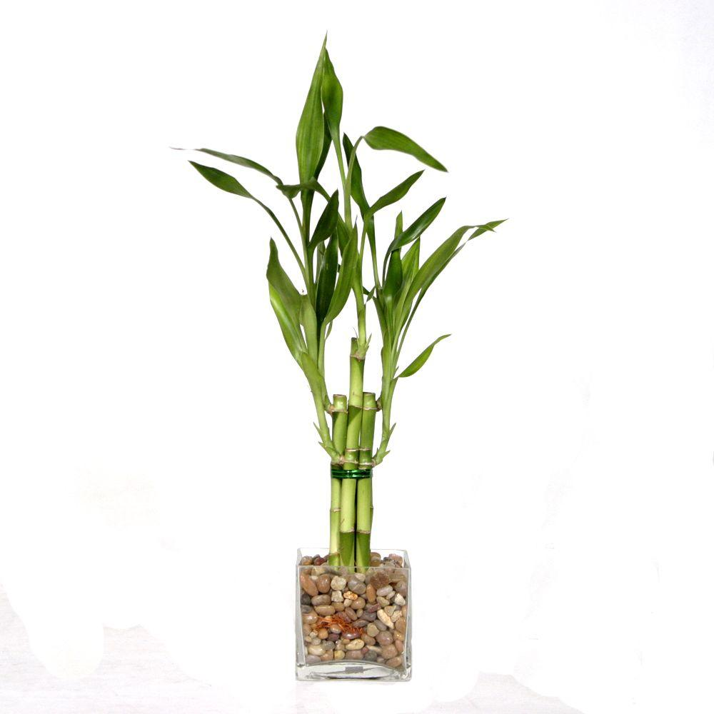 5-Stalk Straight Bamboo