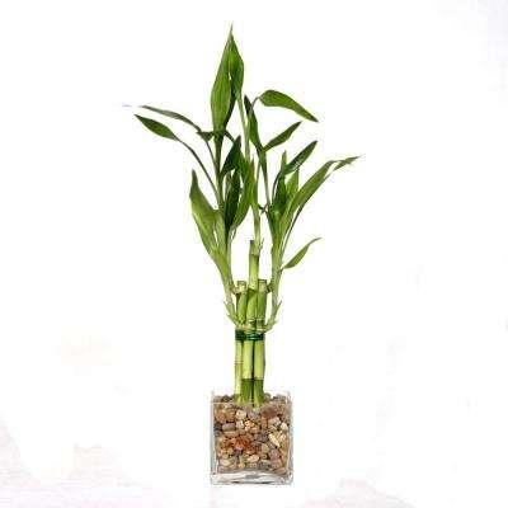 5-Stalk Straight Bamboo