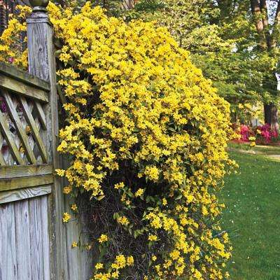 2 in. Pot Carolina Jessamine Gelesemium Vine Live Potted Plant with Yellow Flowers (1-Pack)