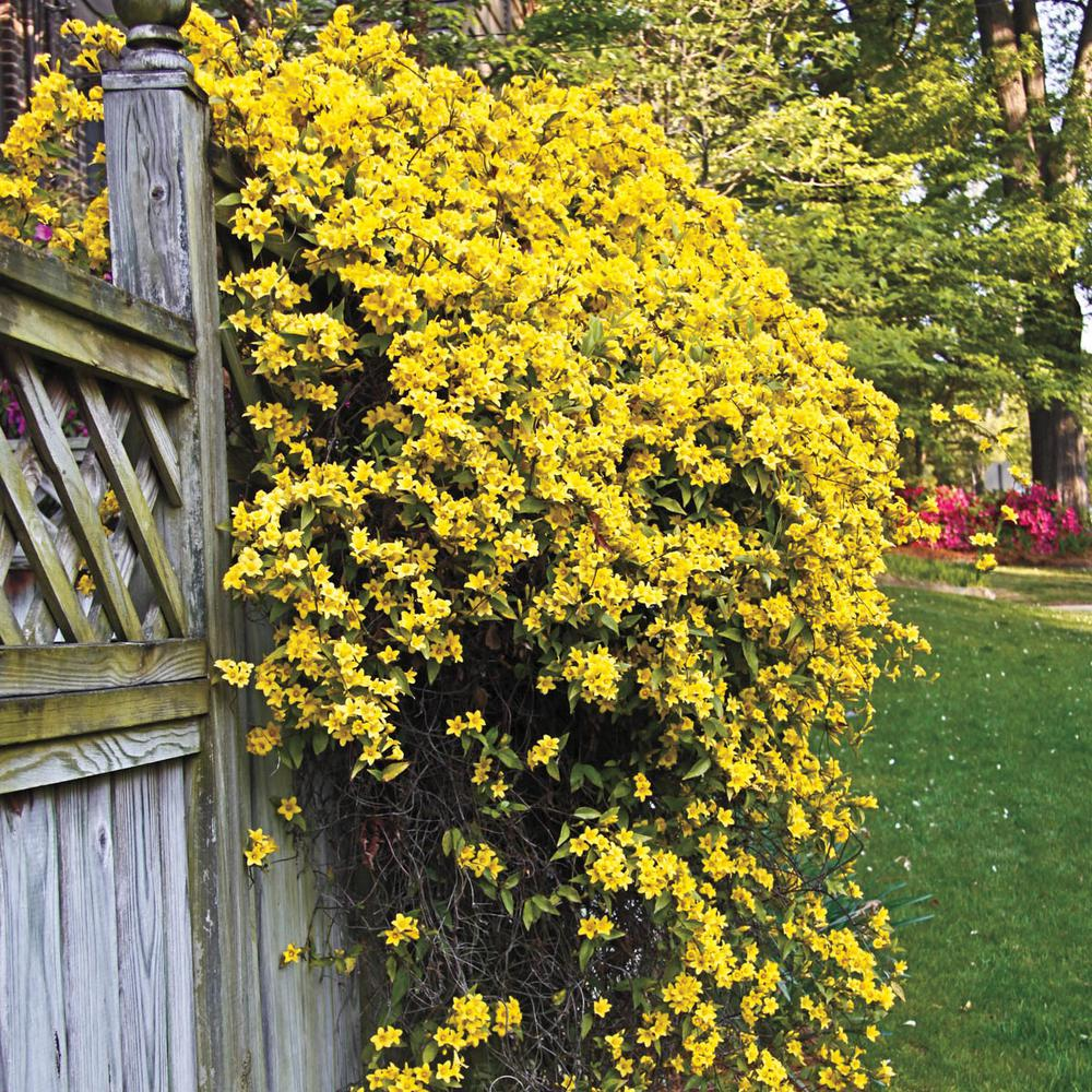 Spring Hill Nurseries 2 In Pot Carolina Jessamine Gelesemium Vine Live Potted Plant With Yellow Flowers 1 Pack