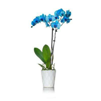 Blue 5 in. Watercolor Orchid Plant in Ceramic Pot (2-Stems)