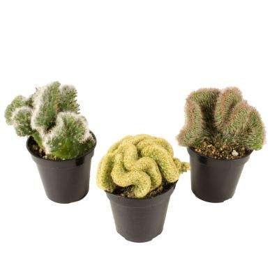 3.5 in. Assorted Crested Cactus (3-Pack)