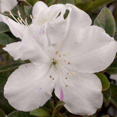 1 Gal. Autumn Lily - Multi-Season Re-Blooming Compact Evergreen Shrub with White Blooms