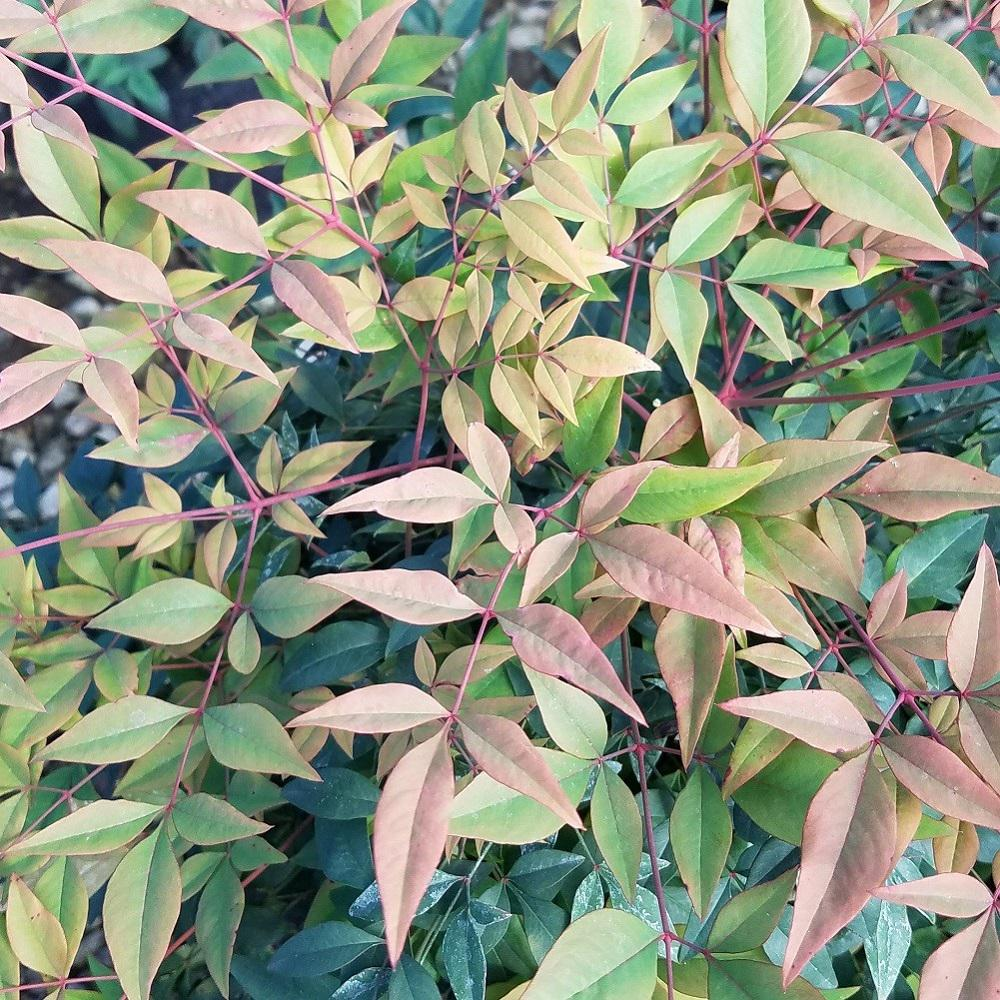 New Years Foliage >> 2 5 Qt Gulfstream Nandina Heavenly Bamboo Live Evergreen Shrub Year Round Foliage Interest