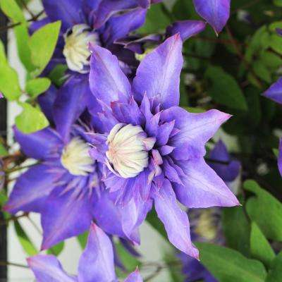 3 In. Pot Multi Blue Clematis Vine Live Perennial Plant Vine with Blue Double Flowers