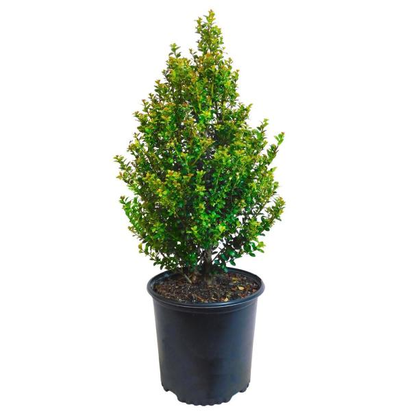 2.25 Gal. Steeds Upright Japanese Holly Plant with Dark Green Foliage