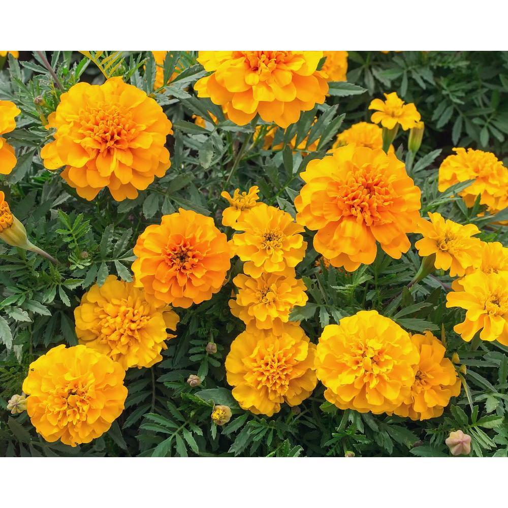 Orange Marigold (12-Plants)