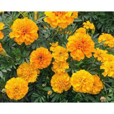 Orange Marigold (12-Plants)